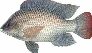 Man dies after accidentally swallowing live tilapia fish