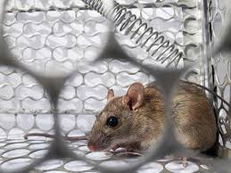 Hantavirus: Causes, Symptoms, Treatment And Prevention